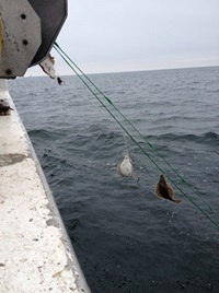 Flounder in catches in the Baltic Sea near Gotland. Photo: Martin Karlsson.